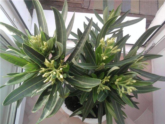 Олеандр -  Nerium oleander L. 8634bc84fa7e