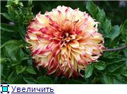 Георгины в цвету 38e3f2f28ef3t