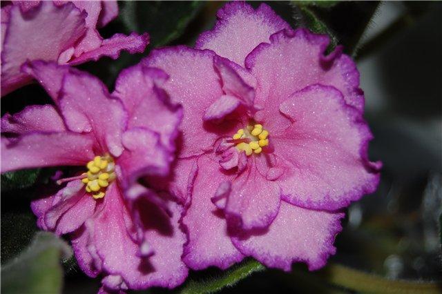 Растения Татьяны Малыгиной-фиалки, адешки, хойи, орхи... Db7274728aa1