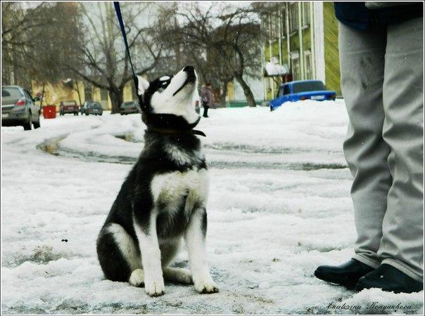 Siberian huskies in Russia. 9c7ea2af40be