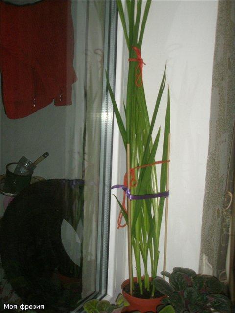 Луковичный цветок фрезия - Страница 3 4a8264edb96e