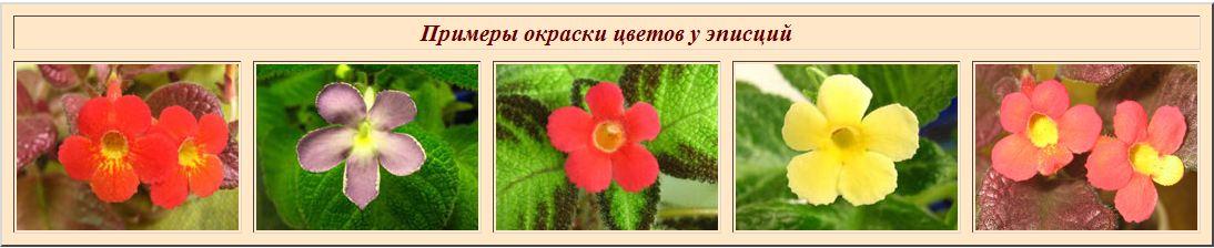 Краткие рекомендации по выращиванию и уходу за эписциями - Страница 3 9ad5ba0d6cde