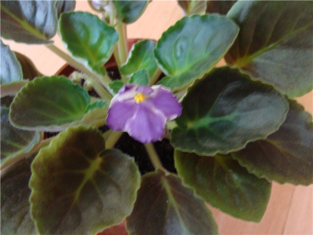 Продам цветущие фиалки и детки, эписции, глоксиии, сортовые герани, сингониум и др. 63671bff6a2f