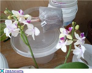 Фаленопсисы гибридные - Страница 3 64cdade5b63at