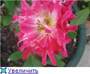 Розы 2011 1e59e1ca7a89t
