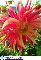 Георгины в цвету - Страница 2 237a6c3ed909t