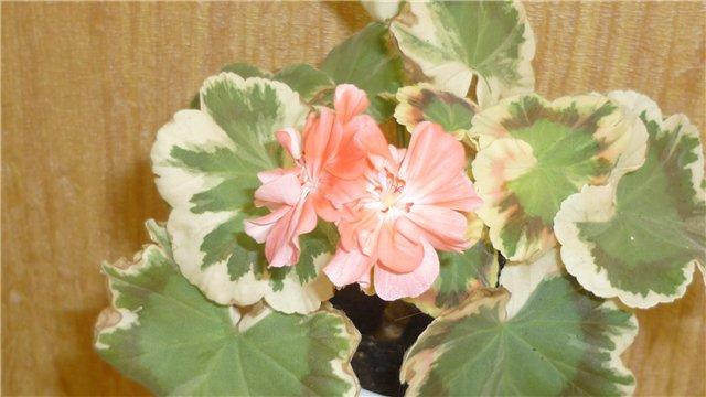 Мои любимые цветочки - Страница 39 185955352c12