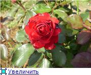 Мои любимые цветы- розы - Страница 2 5e42a510dfe2t