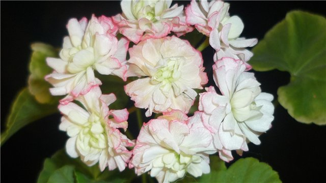 Мои любимые цветочки - Страница 39 37c209e7a5c5