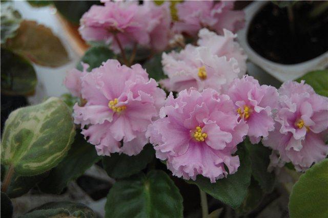 Растения Татьяны Малыгиной-фиалки, адешки, хойи, орхи... Fb4b536010f7