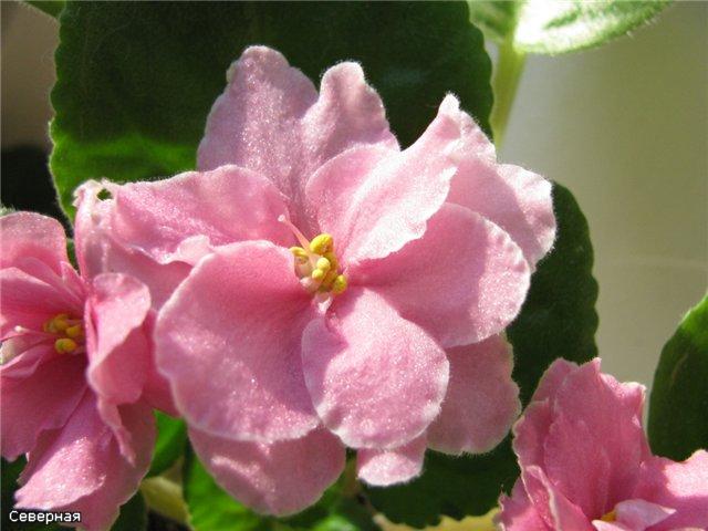 Цветочки Северной - Страница 5 C0834051e95c