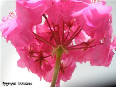 Цветочные красотки и красавцы Идущей Босиком - Страница 7 B90ed2096d68