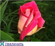 Розы 2011 Aa2285f1c939t