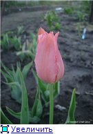 Тюльпаны - Страница 2 D33808d82826t
