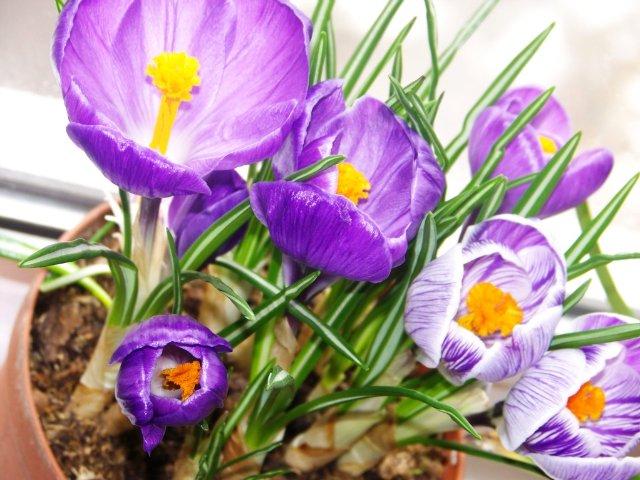 Выгонка луковичных. Тюльпаны, крокусы и др. - Страница 2 E117733fc02d