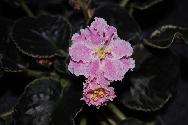 Растения Татьяны Малыгиной-фиалки, адешки, хойи, орхи... Cc5f1c403d55