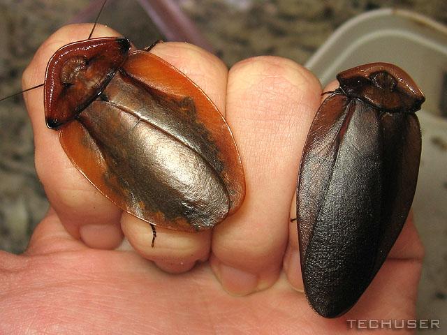 Малоизвестные виды тараканов Eebce364ebde