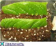 Размножение стрептокарпусов - Страница 4 D6d76925c503t