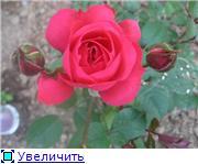 Розы 2011 C9d4f756ff45t