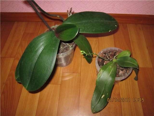 Орхидеи - Страница 13 8e926e1e92d0