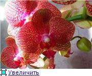 Фаленопсисы гибридные - Страница 16 B1187185b4c1t