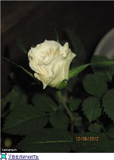 Розы в комнатной культуре - Страница 5 51289e7581f0t