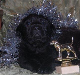 Шоколадные и черные щенки лабрадоров в  питомнике Луссо Анжело 754a028e4b71