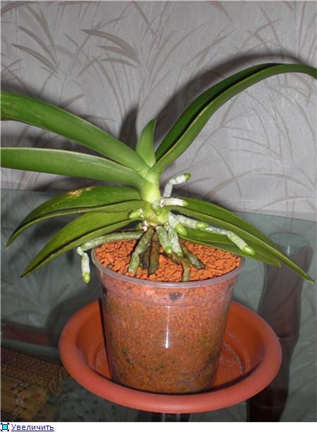 Странности и интересности наших орхидей - Страница 4 Ed66e11c5a88t