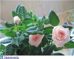 Розы в комнатной культуре - Страница 7 F74b976a9861t