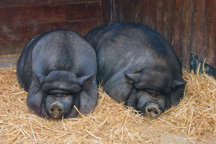 В'єтнамські вислобрюхие свині Ccef812b7179
