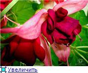 ФУКСИИ В ХАБАРОВСКЕ  - Страница 2 Ef914a9ffbbat