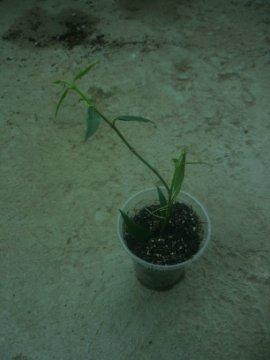 декоротивно-лиственные и красивоцветущие растения - Страница 4 888e1c879753