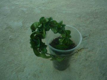 декоротивно-лиственные и красивоцветущие растения - Страница 4 Dd738948f6a4