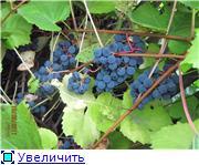 Виноград- секреты выращивания 158e5d1b5d31t