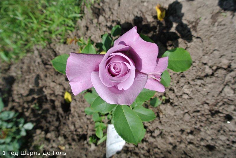 Розы-2013 Eeee3a5c07ff