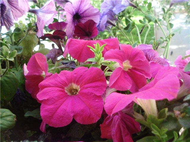 Цветы на балконе 5fdfc0c0ea00