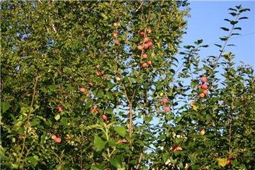 Яблоня: сорта и агротехника. - Страница 8 466b4b3977cct