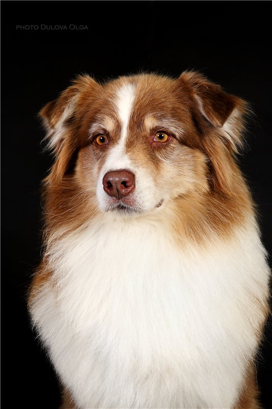 """Питомник """"Aurum Dog"""" 9d841fcfa78e"""