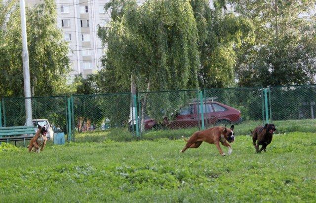 Москва, Рони, кобель боксера, 5 лет  - Страница 5 7ff54cdcbef5