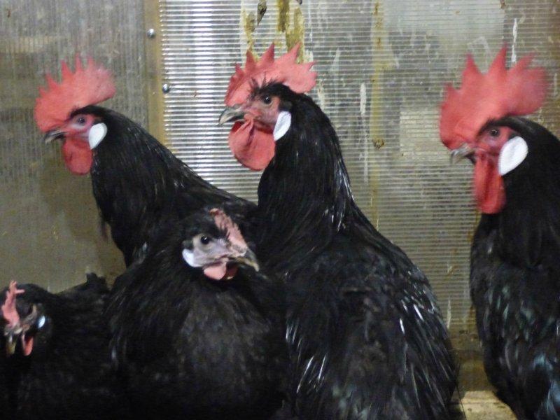 индийский - Продажа куриного инкубационного яйца, породы Барбезье и утиного, породы Индийский бегун /Арлекино/.                                                          А  D87760c18972
