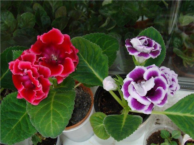 Продам цветущие фиалки и детки, эписции, глоксиии, сортовые герани, сингониум и др. 1b976994c428