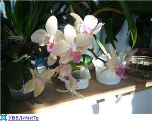 Фаленопсисы гибридные - Страница 3 6e22635c0056t