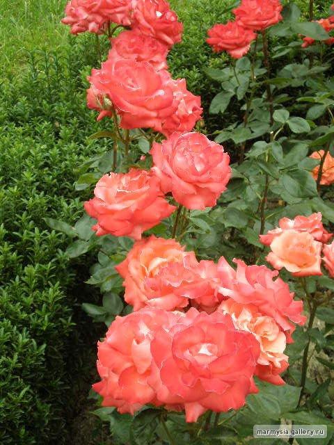 Крым. Никитский ботанический сад. - Страница 2 Cba826030991