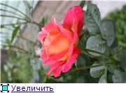 Розы 2011 1b0f94c308fat