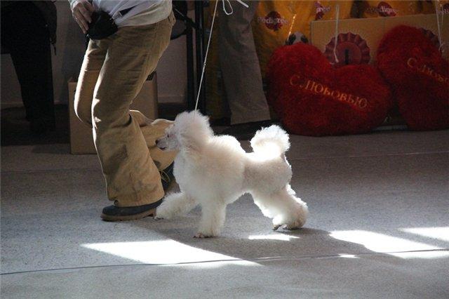 """Питомник """"Прима Персона"""". Мои собаки-моя жизнь! A70046002b69"""