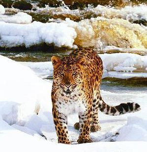 Espécies de Leopardos   A-Rare-Capture-Far-Eastern-Leopard-4