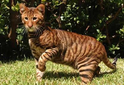 Необычные и редкие породы кошек и собак 301225