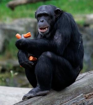 Babuíno vs chimpanzé  Chimpanze-m-20091014