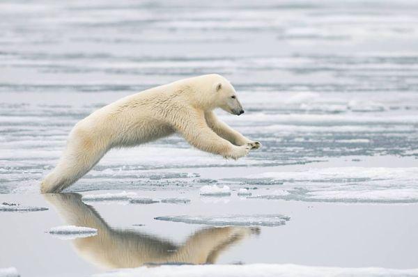 Urso Polar (Ursus maritimus) Ursos-polares-g-4-13102009