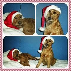 hunder og venner Nisseterrier